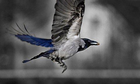 BYFUGLEN: Kråka ble godkjent som byvåpen for Moss ved kongelig resolusjon i 1954. Byvåpenet hadde tidligere et motiv med fugler flygende rundt kirkespiret.