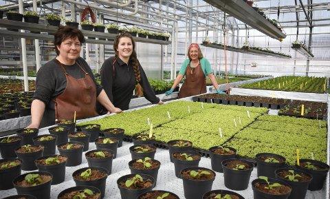 Mange tusen: - I år har vi 33.000 planter som skal ut, forteller Anita Lauvås (t.v.). Her sammen med Kristine Masterdalshei og Lise Gruben. På bildet ser du også 7.000 lysegrøne lobeliastiklinger som skal pottes om. Foto: Beate Nygård Johansson