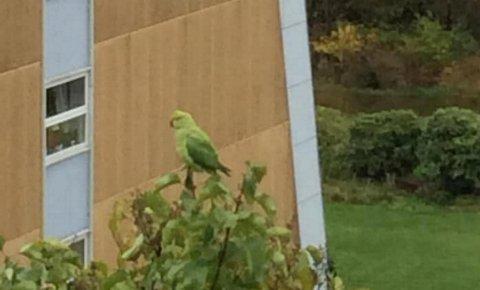 Dette er Rolland-papegøyen. Irene Rørvik Øen tok dette bildet av den «ville» fuglen på Liaflaten. Hun forteller BA at hun sist så fuglen for noen dager siden.