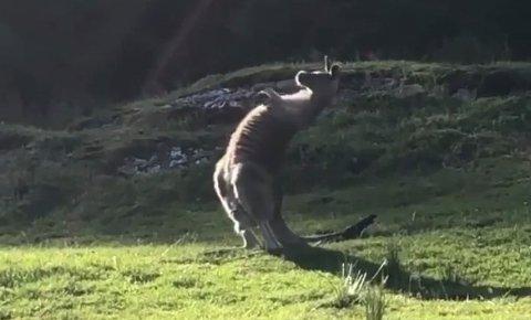 SLÅR SEG PÅ BRYSTET: Dette bildet er hentet fra en video som nylig ble tatt av kenguruen på Torvastad.