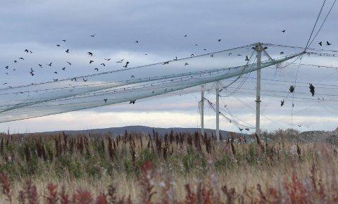 KLAGE: Norsk Ornitologisk Forening mener skadefellingstillatelsen ØFAS har fått er i strid med loven. Da Finnmarken var innom avfallsdeponiet, var de aller fleste kråkene utenfor nettet. FOTO: EILIF ASLAKSEN