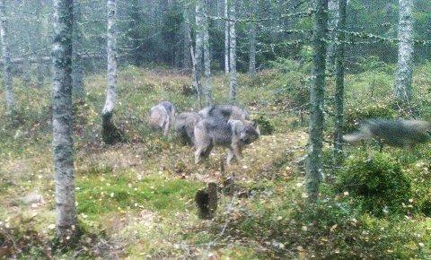 Fanget på kamera: Denne flokken, her fanget av viltkamera på Mangen, har antagelig etablert seg på Bjørkelangen.