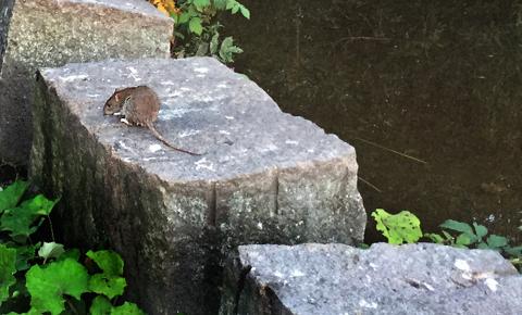 SKADEDYR: Rotteplage kan gå på nervene løs, og skadedyret kan gjøre store skader om du får det i hus. Ill.foto: Nina Schyberg Olsen