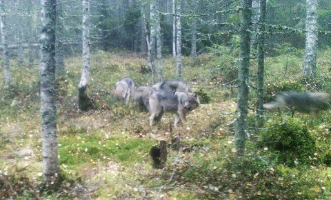 ULVEFLOKK: Denne flokken på fem ulver ble registrert på et viltkamera innover mot Gravdalen lørdag morgen.