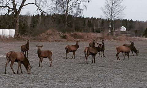 VIL FÅ OVERSIKT: Rakkestad kommune er avhengig av å få større oversikt over hjortestammen i bygda før de åpner opp for hjortejakt.