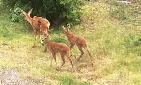 OVERLEVDE: – Trolig er det den skadede rådyrkviga som er på besøk med to kalver nå i sommer, som var i hagen vår i vinter, sier Roar N. Nilsen, som har sendt oss historien.