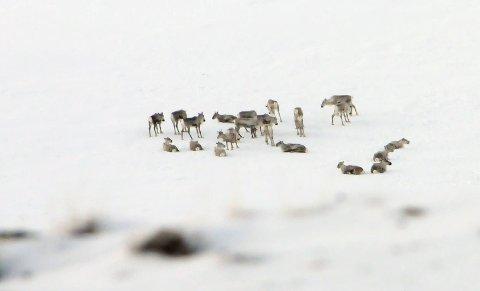 Det er bra at Rondane-Dovre nasjonalparkstyre tar grep for å bevare villreinen i Rondane.