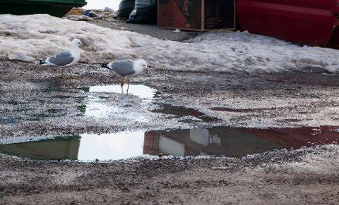 PLAGEÅNDER: Finnmarkssykehuset plages av måsene i Hammerfest.