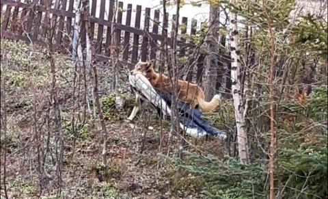 STJELER: Her har en løshund stjålet jakka til Maj Rita Storvik i Kautokeino. Nå vil hun sette opp strømgjerde rundt huset når tispa hennes har løpetid. På den måten håper hun at de får ha tingene sine i fred under løpetiden.