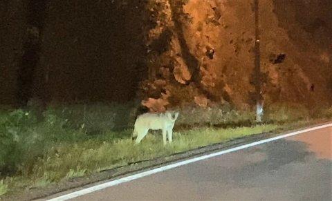 ULV: Her ble ulven observert mellom Gjerdemyra og Sannidal klokka 21.00 lørdag kveld. Se video lenger ned i saken.