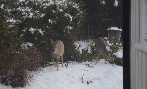 RÅDYR: Snørike vintre gjør at rådyr ofte trekker mot bebyggelse. derfor innføres det nå ekstraordinær båndtvang.