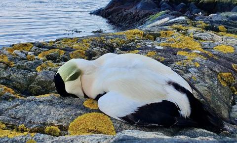 OPPKLART: Ærfugldøden langs kysten er oppklart, men fugl på Hurumlandet er ikke så hardt rammet.