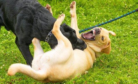 Regningen kan fort bli høy når én hund skader en annen.