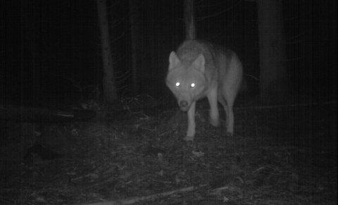 Jegere og grunneiere vil plassere ut 14 nye viltkameraer for å varsle om ulv i Vestfjella i Marker. Bruk av viltkamera er lov så lenge hensikten bare er å ta bilder av dyr. De må kun plasseres der det er usannsynlig at mennesker ferdes, ifølge Datatilsynet.