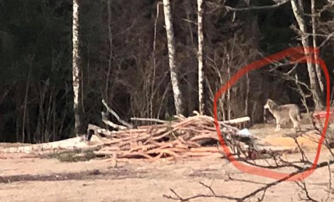 06.20 ble ulven observert og fotografert på gårdstunet til Nina og Lars Sæther.