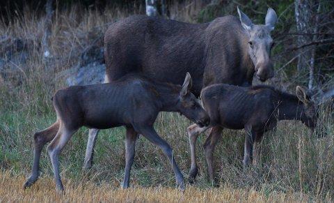 SKRINNE: Bilder som dette indikerer at sommeren tæret på kroppsvekten til elg. Naturfotograf Øivind Lågbu foreviget denne elgmora og to kalver i en havreåker i Råde i august i fjor.