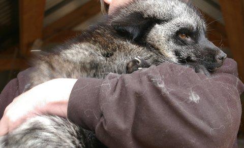 PELSDYRHOLD PÅ HELL: Sølvrev på armen til en pelsdyrbonde. Nå ber pelsdyralslaget kommunene ha beredskapen klar for pelsdyrbønder som må avvikle. (Arkivfoto).