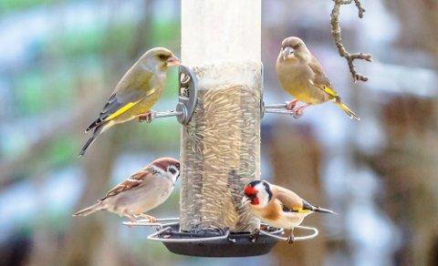 Vennskaplig bespisning. To grønnfinker (Chloaris chloaris) øverst, og pilfink (t.v.)(Passer montanus) og stilits (Carduelis carduelis) nederst.