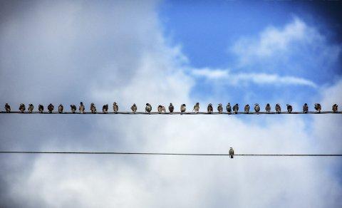 Av dei over 200 individa i flokken som sat på leidninga, var det ein fugl som gav blaffen i flokken og valgte sin eigen veg.