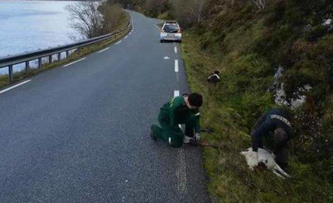 DYRETRAGEDIE: Fem geiter som gjekk i vegbana ved Berleporten måndag føremiddag, vart meia ned av ein bil. No vil politiet ha kontakt med to bilførarar.