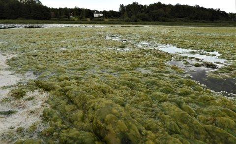 LODDENT TEPPE: Strakstiltak må til for å unngå at Borrevannet fortsetter å gro igjen. Bare to tiltak er igangsatt så langt.