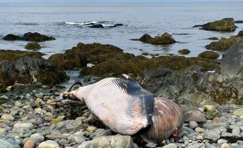 SKAL FJERNES: Det er vanskelig å se om  den strande vågehval ved Skytterbanen i Vardø har dødd etter en harpunering eller om den har dødd naturlig.