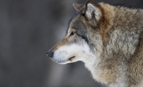 Fredet: Ulven. foto: Heiko Junge/ Scanpix