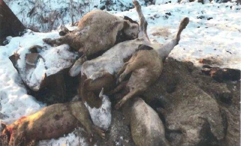BONDENS KOMMENTAR: Det ble avliva spesielt mange dyr akkurat da Mattilsynet var på besøk. Det gjorde at det hopet seg opp. Fra tilsyn 2018