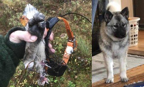 ANGREPET: Elghunden Saga (3) ble i helga angrepet av ulv. I etterkant raste debatten i sosiale medier og eieren, Kenneth Sletner ble beskyldt for dyreplageri.