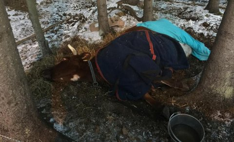 DØENDE: Kua har ligget utenfor Sverstad barnehage i over et døgn.