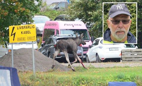 VELLYKKET: Bernhard Gjerpe i Viltettersøk kan fortelle at elgen ikke utgjør en fare lenger da den har løpt inn i Teieskogen.