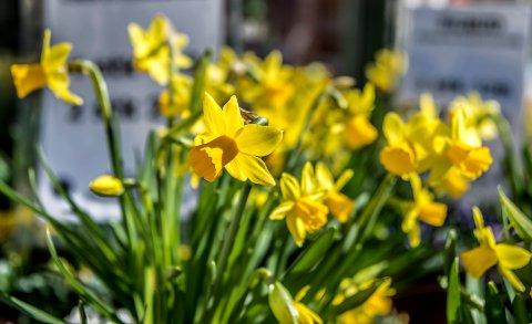 PÅSKEBLOMST: Det blir nesten ikke påske uten påskeliljer (narcissus pseudonarcissus).