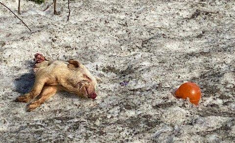 I GRØFTA: En halv gris vekket oppsikt liggende i grøfta på Bøverbru mandag. Politiet melder at grisen skal fjernes.