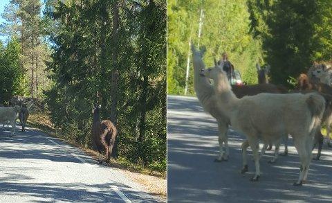 I VEIEN: Lamaene på Mørk gård i Torpedalen rømte fra innhegningen sin på søndag.