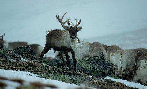 Lokale villreinnemnder rundt Hardangervidda ønsker et ord med i laget når skrantesjuken skal håndteres. (foto Runar Tufto)