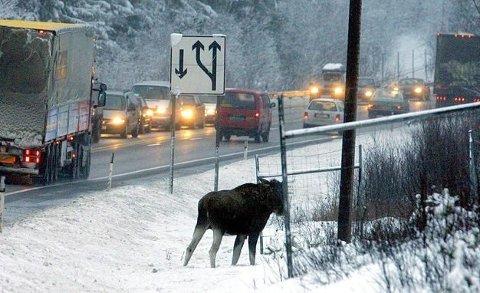 PASS PÅ: Faren for å kjøre på vilt som elg og hjort er særlig høy i grålysningen og skumringen.