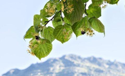 Idyllisk fare: Humlene surrer ivrig rundt blomstene på parklinden. Det er forgjeves, og de sulter i hjel på de sterile blomstene.
