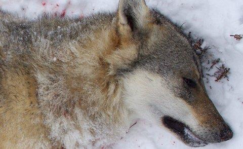 DET BLIR FELLING: Klima- og miljøminister Vidar Helgesen åpner for felling av ulv. Naturvernforbundet klandrer rovviltnemndene for å skape ulvehysteri .Arkivfoto: Tonje H. Løkken