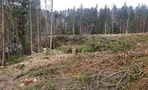 SKUFFENDE:  Skogsdriften bryter her mot sin egen skogstandard, da nesten ingen livsløpstrær er gjensatt, sier  Harald Baardseth i Naturvernforbundet i Modum og Sigdal