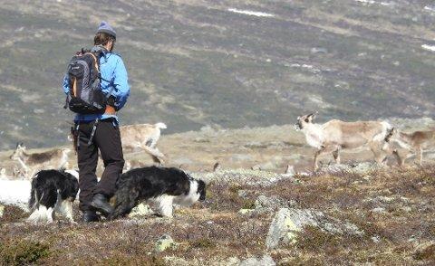 PÅ VAKT: Gjeterne følger flokkene med nyfødte reinskalver.