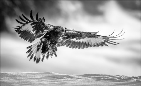 ANDREPLASS: Bjørn Stuedal fra Hov kom på andreplass i i monocrome i en internasjonel konkuranse for fjorårets beste bilder med denne ørnen fra Telemark.