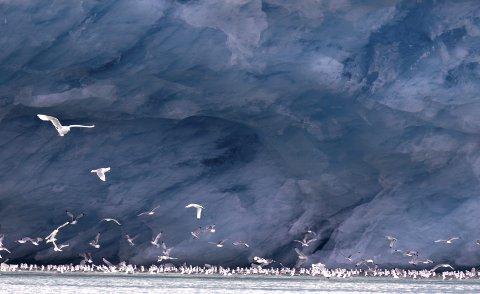 Uke 31- og månedsvinner for august: Jan Widén har tatt dette vakre motivet fra Svalbard. Et fantastisk lys og isbreen i bakgrunnen minner mest om et maleri. Bra!