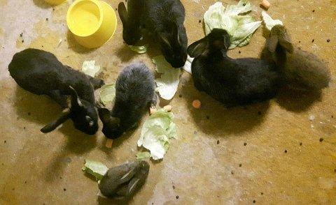 Disse kaninene ble funnet på Nøtterøy denne uken. Sannsynligvis har noen reist på ferie og ikke lyktes med å finne dyrevakt.