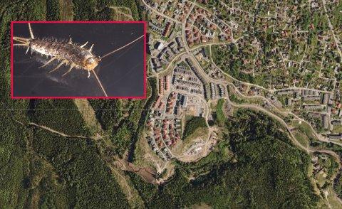 HARBLITTHUSVARM:Skjeggkre i Kruttverket og andre steder er trolig noe som har kommet for å bli.