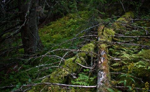 Illustrasjonsfoto:  Skogen er kanskje det viktigste stedet for biologisk mangfold. Omtrent halvparten av alle rødlistede arter i Norge har skogen som levested.