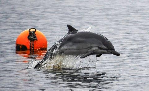 NAVN: Denne delfinen koser seg i Iddefjorden og nå skal den sjeldne gjesten få et navn. HAs lesere har bidratt med mange gode navneforslag.