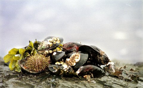 Blåskjellene langs kysten kan være giftige. Mattilsynet overvåker og publiserer hver fredag et ferskt varsel om hvilke områder de advarer folk mot å spise selvplukkede blåskjell. Foto: NTB scanpix