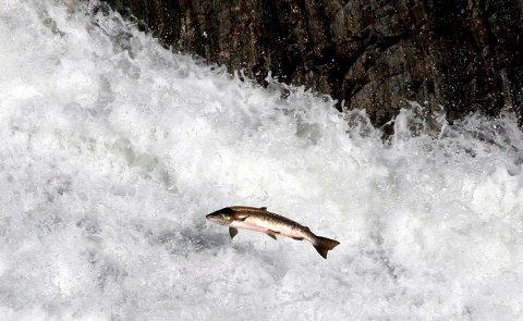 TAR GREP: Selv om det meldes om dårlig fangst øverst i vassdraget er det ingen restriksjoner enda. Allikevel anbefaler de å ikke ta opp mer laks en man trenger i resten av sesongen. illustrasjonsfoto.