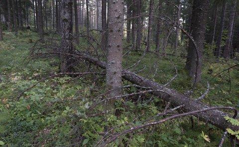 LATENT TRUSSEL: Granbarkbilla i Norge er en av en håndfull barkbiller i verden som kan drepe trær i stort antall. Foto: Henning Gulbrandsen