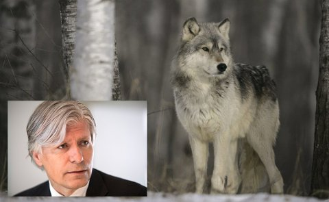 FREDET: Klima- og miljøminister Ola Elvestuen påpeker at ulven er en fredet art.
